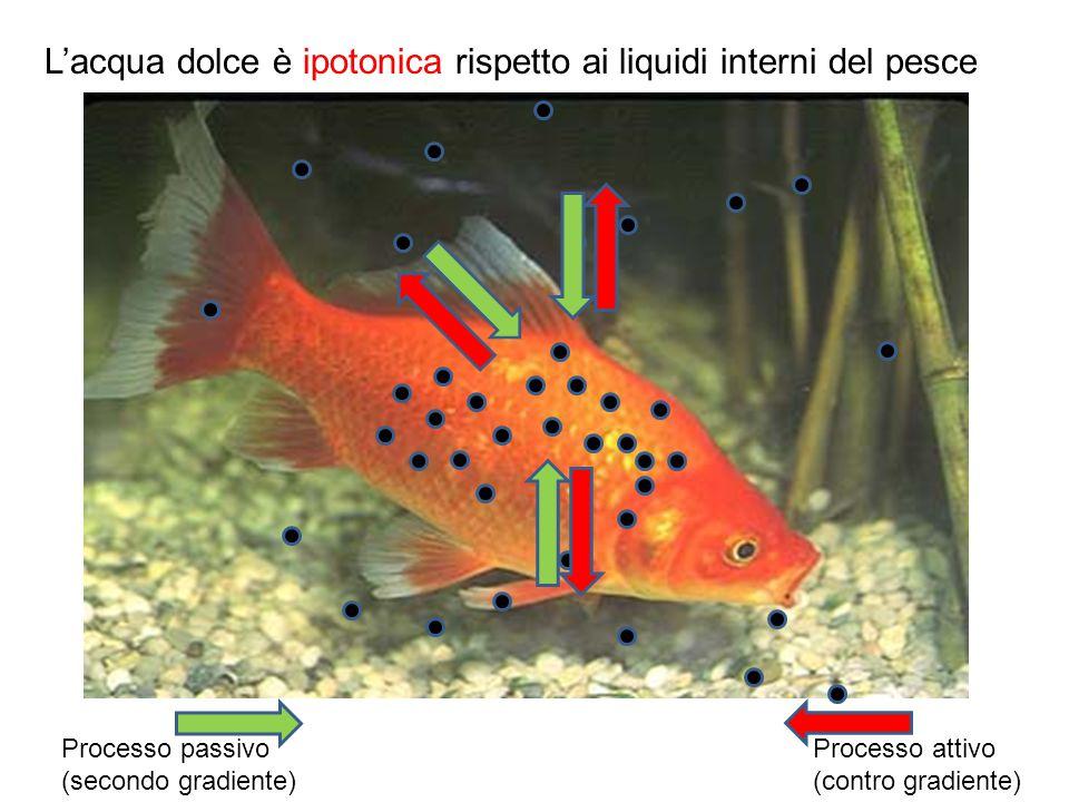 L'acqua dolce è ipotonica rispetto ai liquidi interni del pesce