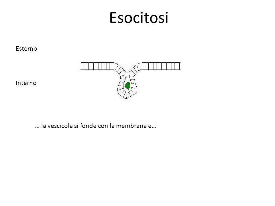 Esocitosi Esterno Interno … la vescicola si fonde con la membrana e…