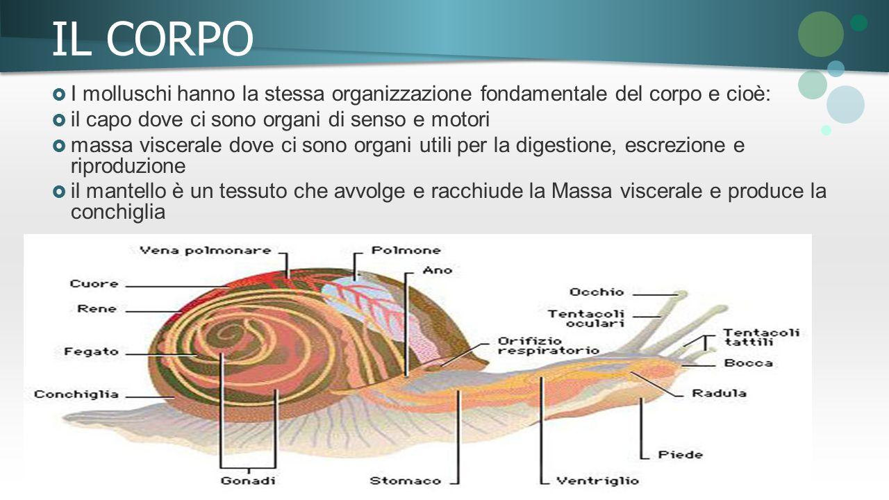 IL CORPO I molluschi hanno la stessa organizzazione fondamentale del corpo e cioè: il capo dove ci sono organi di senso e motori.