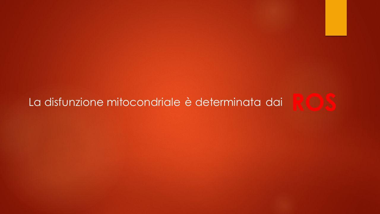 ROS La disfunzione mitocondriale è determinata dai