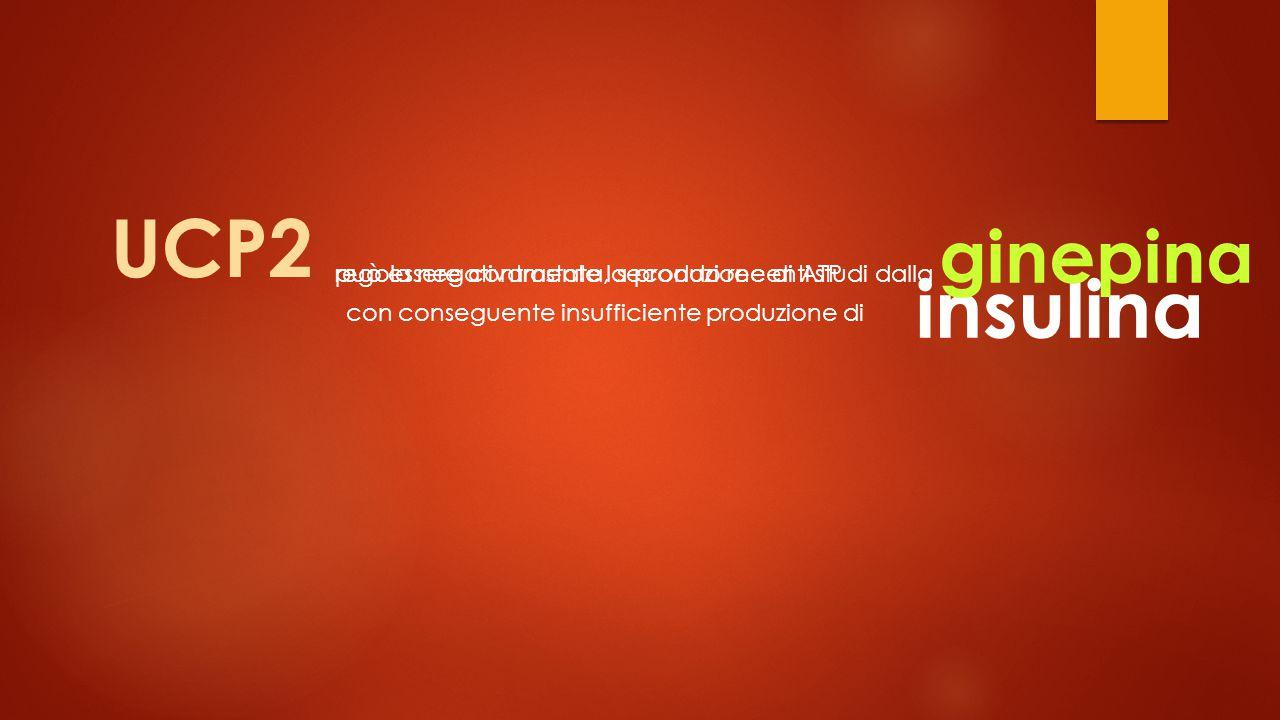UCP2 insulina ginepina regola negativamente la produzione di ATP