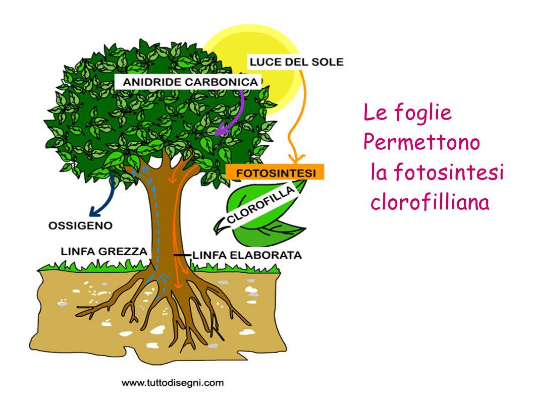 Le foglie Permettono la fotosintesi clorofilliana