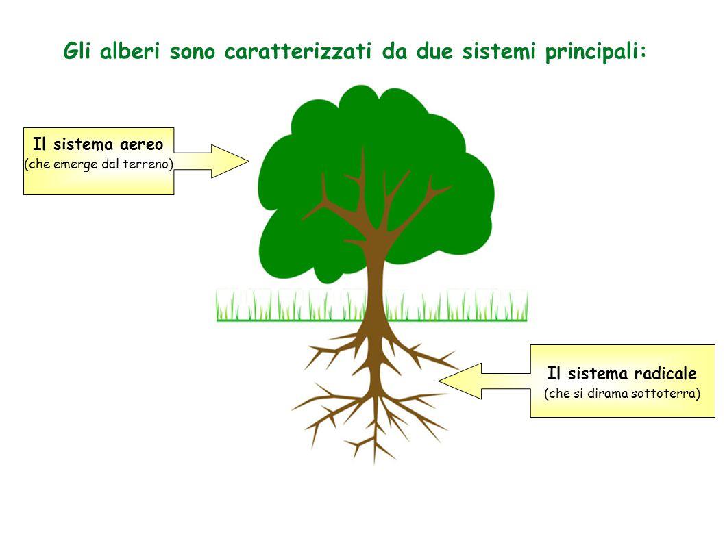 Gli alberi sono caratterizzati da due sistemi principali: