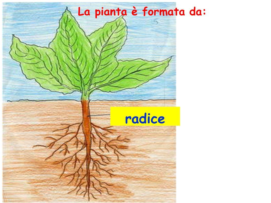 La pianta è formata da: radice