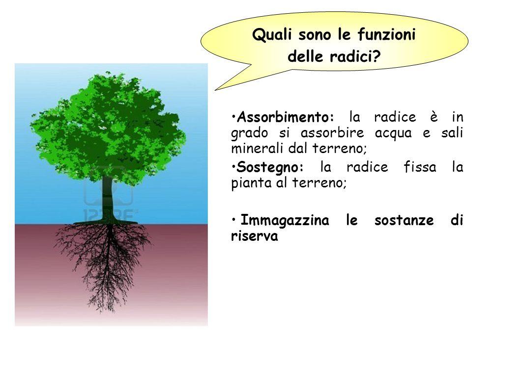 Quali sono le funzioni delle radici
