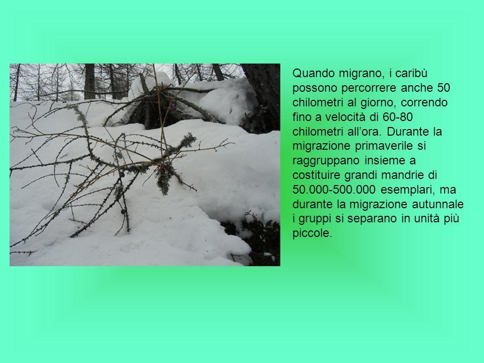 Quando migrano, i caribù possono percorrere anche 50 chilometri al giorno, correndo fino a velocità di 60-80 chilometri all'ora.