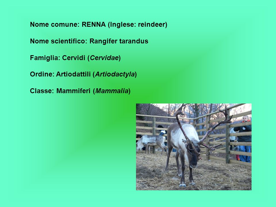 Nome comune: RENNA (Inglese: reindeer)