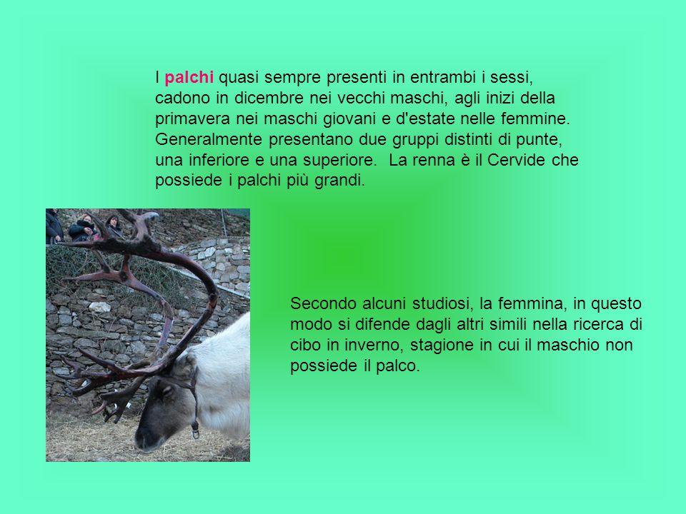 I palchi quasi sempre presenti in entrambi i sessi, cadono in dicembre nei vecchi maschi, agli inizi della primavera nei maschi giovani e d estate nelle femmine. Generalmente presentano due gruppi distinti di punte, una inferiore e una superiore. La renna è il Cervide che possiede i palchi più grandi.