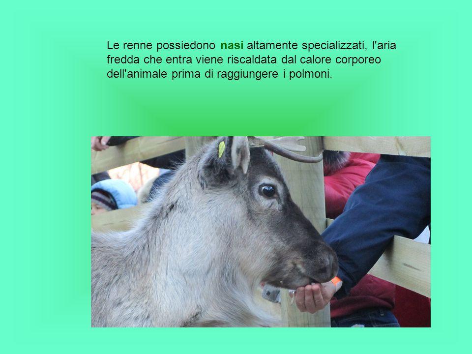 Le renne possiedono nasi altamente specializzati, l aria fredda che entra viene riscaldata dal calore corporeo dell animale prima di raggiungere i polmoni.