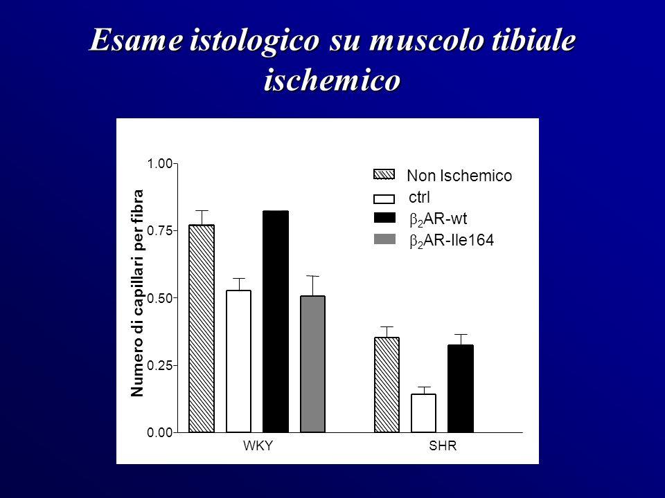 Esame istologico su muscolo tibiale ischemico