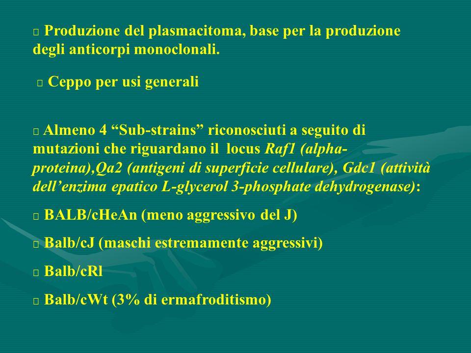 Produzione del plasmacitoma, base per la produzione degli anticorpi monoclonali.