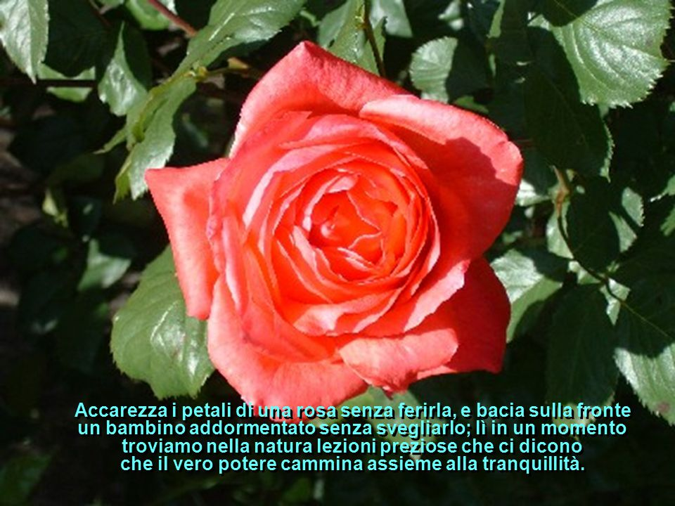 Accarezza i petali di una rosa senza ferirla, e bacia sulla fronte un bambino addormentato senza svegliarlo; lì in un momento troviamo nella natura lezioni preziose che ci dicono che il vero potere cammina assieme alla tranquillità.