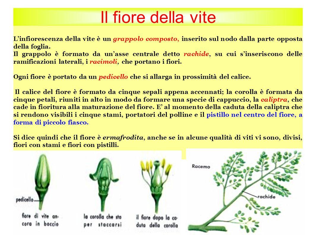 Il fiore della vite L'infiorescenza della vite è un grappolo composto, inserito sul nodo dalla parte opposta della foglia.