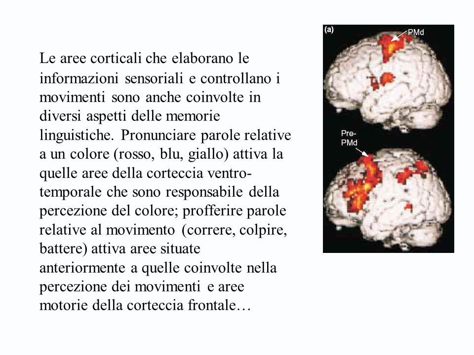 Le aree corticali che elaborano le informazioni sensoriali e controllano i movimenti sono anche coinvolte in diversi aspetti delle memorie linguistiche.