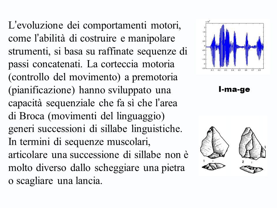 L'evoluzione dei comportamenti motori, come l'abilità di costruire e manipolare strumenti, si basa su raffinate sequenze di passi concatenati. La corteccia motoria (controllo del movimento) a premotoria (pianificazione) hanno sviluppato una capacità sequenziale che fa sì che l'area di Broca (movimenti del linguaggio) generi successioni di sillabe linguistiche. In termini di sequenze muscolari, articolare una successione di sillabe non è molto diverso dallo scheggiare una pietra o scagliare una lancia.