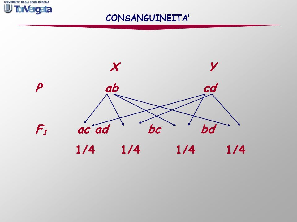 X Y P ab cd F1 ac ad bc bd 1/4 1/4 1/4 1/4 X Y P ab cd F1 ac ad bc bd