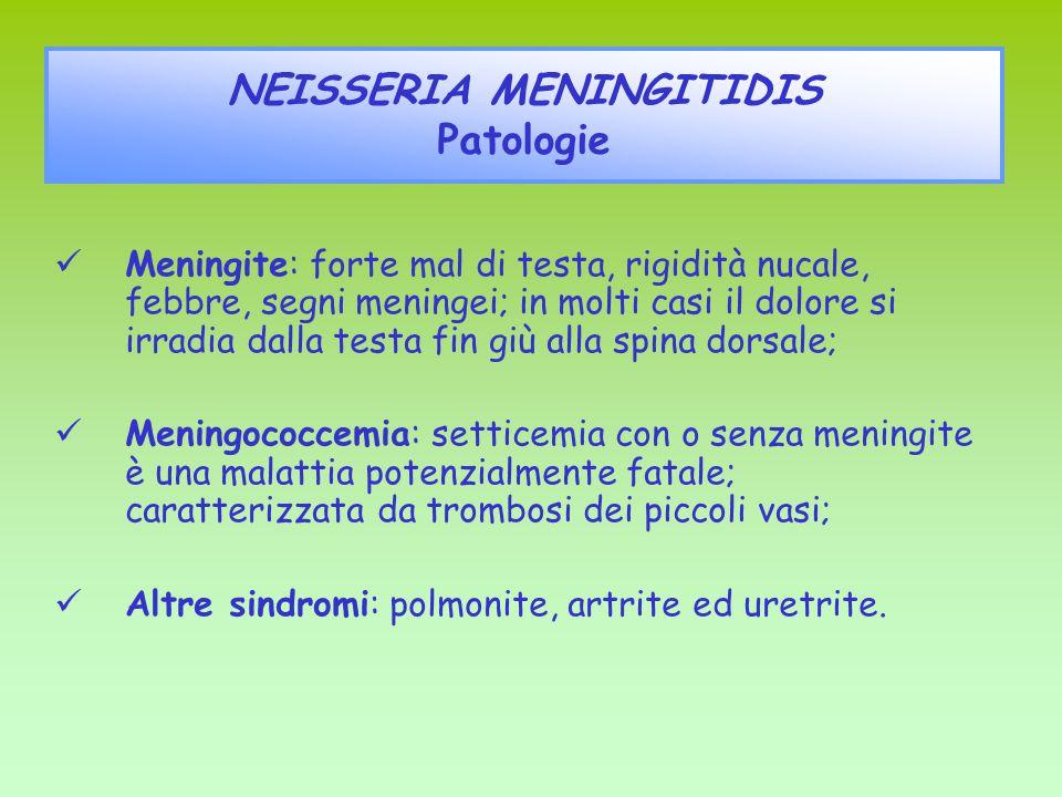 NEISSERIA MENINGITIDIS Patologie