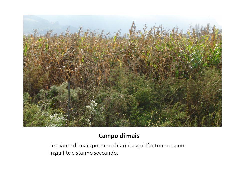 Campo di mais Le piante di mais portano chiari i segni d'autunno: sono ingiallite e stanno seccando.