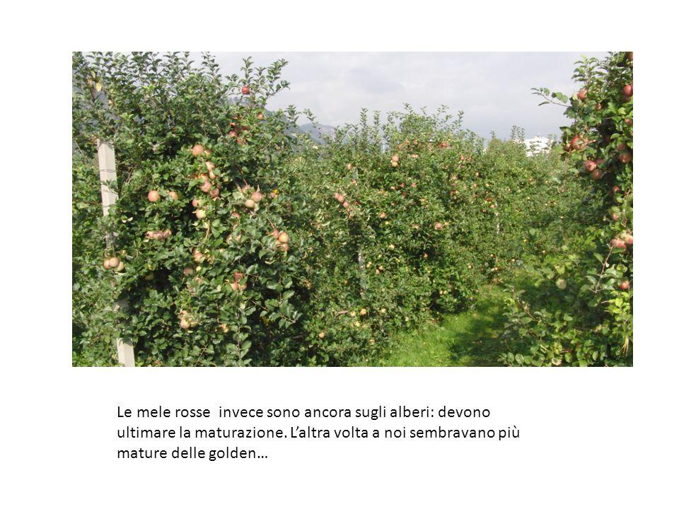 Le mele rosse invece sono ancora sugli alberi: devono ultimare la maturazione.