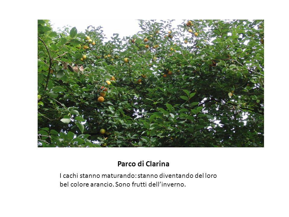 Parco di Clarina I cachi stanno maturando: stanno diventando del loro bel colore arancio.