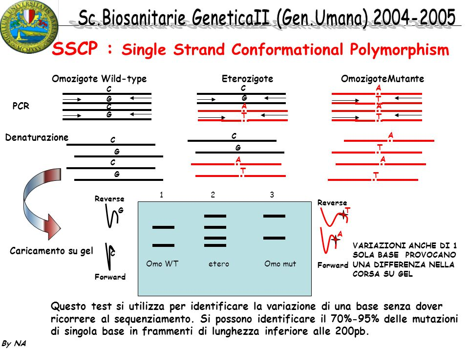 SSCP : Single Strand Conformational Polymorphism