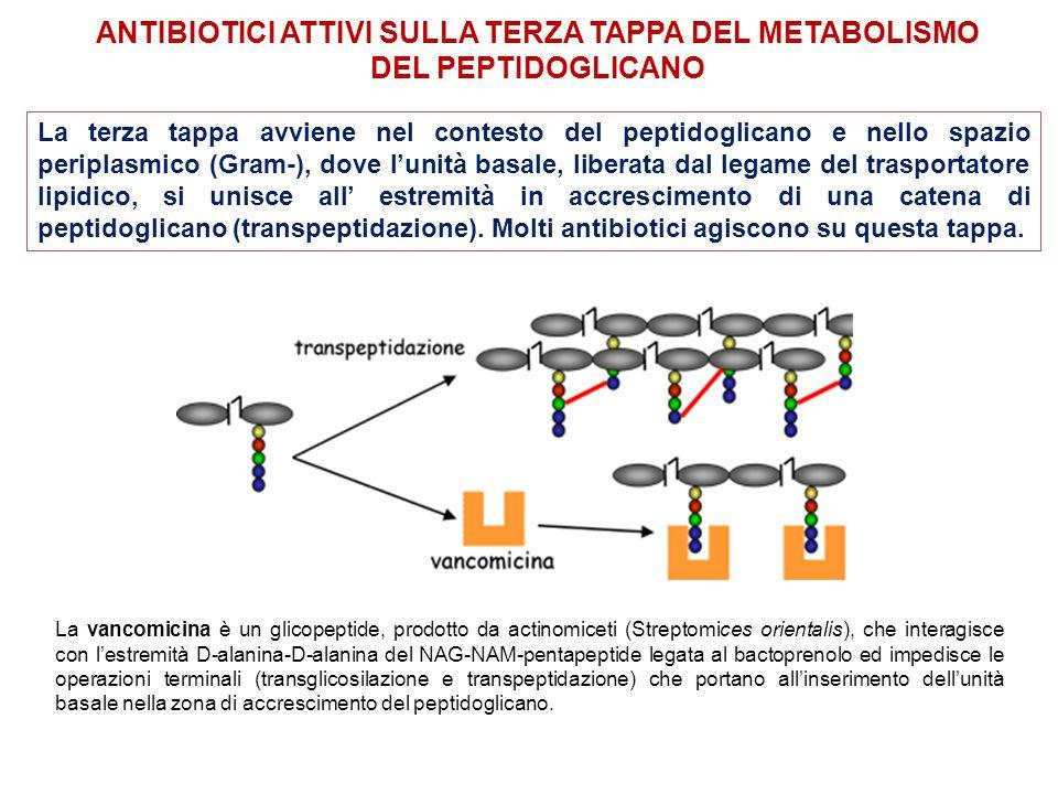 Antibiotici attivi sulla terza tappa del metabolismo del peptidoglicano