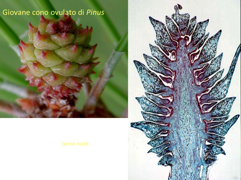Giovane cono ovulato di Pinus