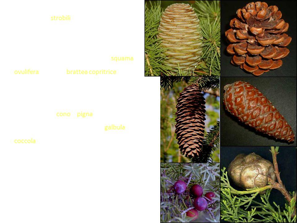 Per lo più gli strobili hanno una struttura complessa costituita da una serie di verticilli raccordati da un asse principale in cui ogni elemento è rappresentato da una squama ovulifera e da una brattea copritrice (anche più o meno saldate insieme).