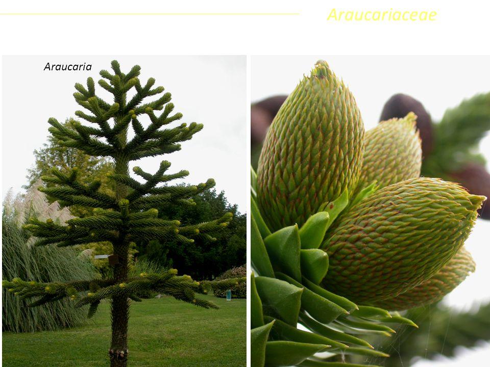Araucariaceae Coniferophyta Pinopsida Pinidae - Conifere Araucaria