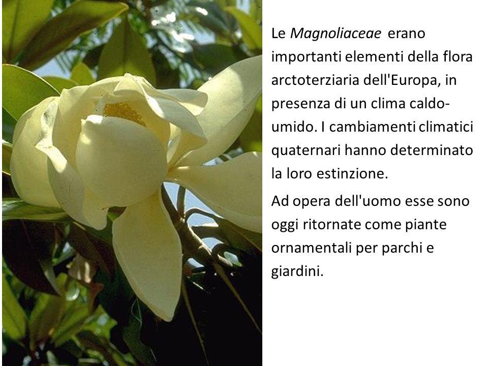 Le Magnoliaceae erano importanti elementi della flora arctoterziaria dell Europa, in presenza di un clima caldo-umido. I cambiamenti climatici quaternari hanno determinato la loro estinzione.