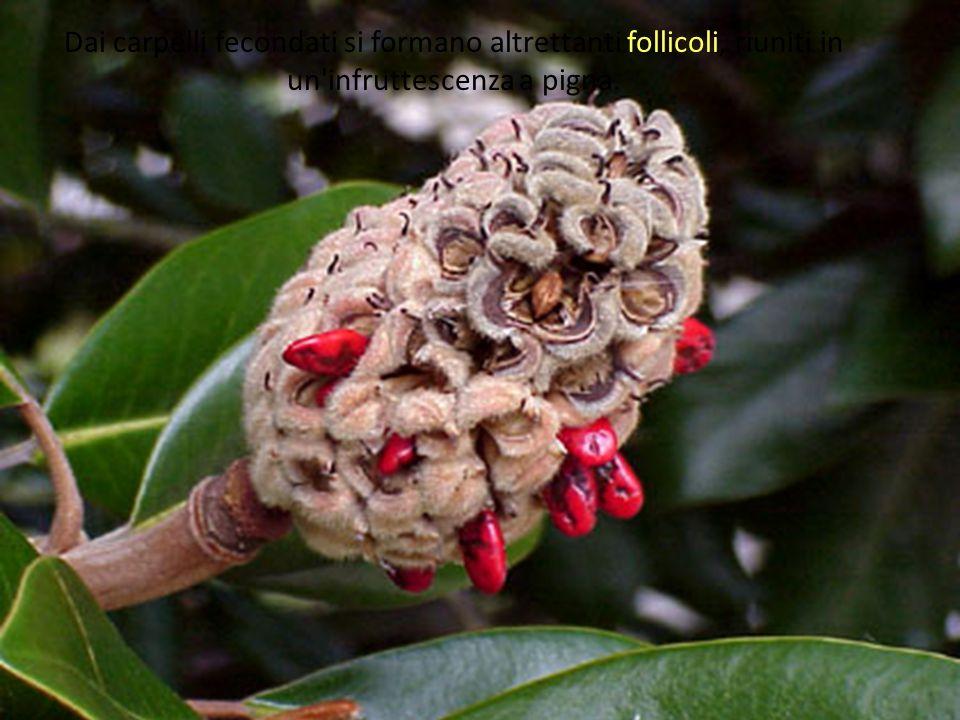 Dai carpelli fecondati si formano altrettanti follicoli, riuniti in un infruttescenza a pigna.