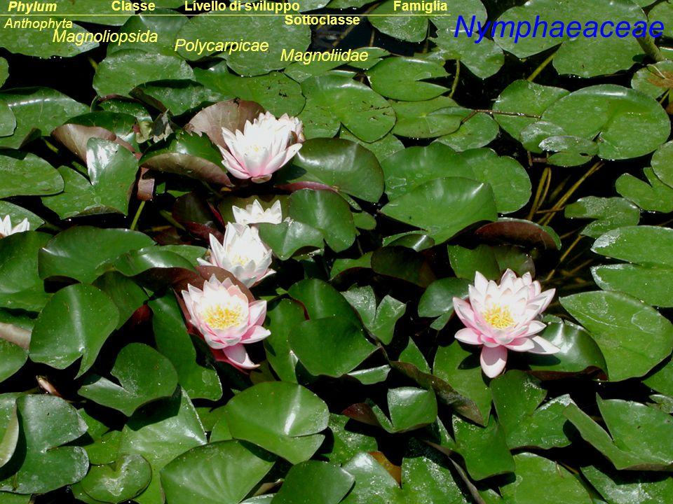 Nymphaeaceae Magnoliopsida Polycarpicae Magnoliidae Classe Phylum