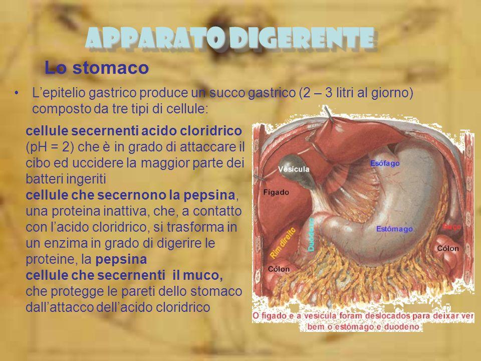 APPARATO DIGERENTE Lo stomaco