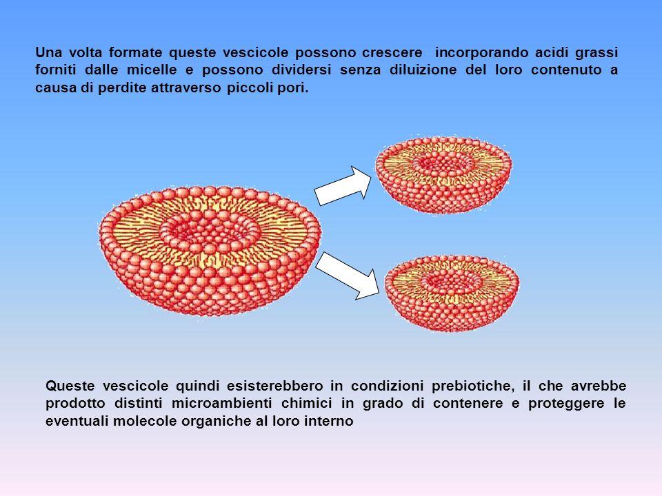 Una volta formate queste vescicole possono crescere incorporando acidi grassi forniti dalle micelle e possono dividersi senza diluizione del loro contenuto a causa di perdite attraverso piccoli pori.