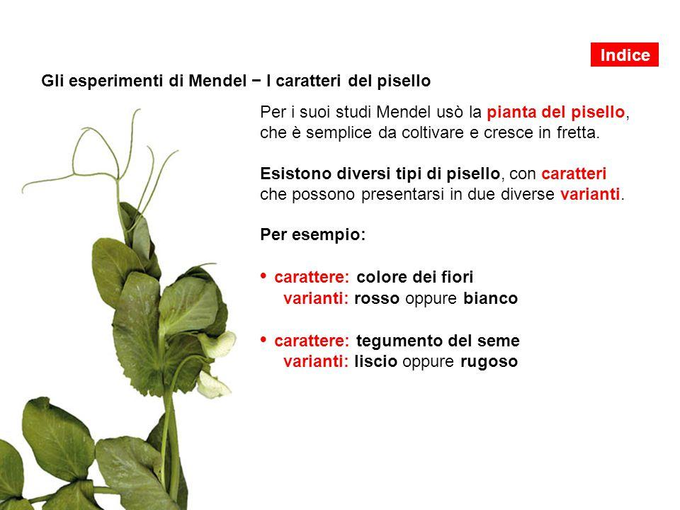 Gli esperimenti di Mendel − I caratteri del pisello