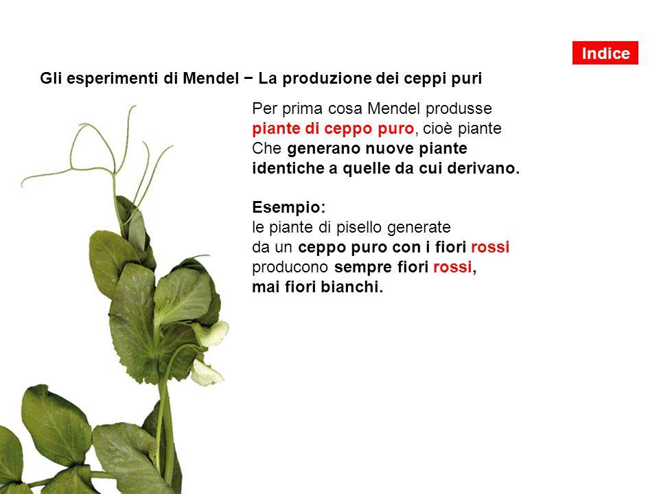Gli esperimenti di Mendel − La produzione dei ceppi puri
