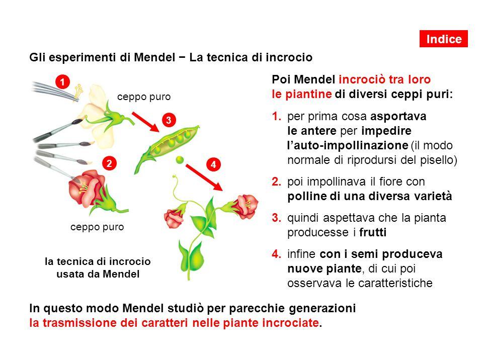 Gli esperimenti di Mendel − La tecnica di incrocio