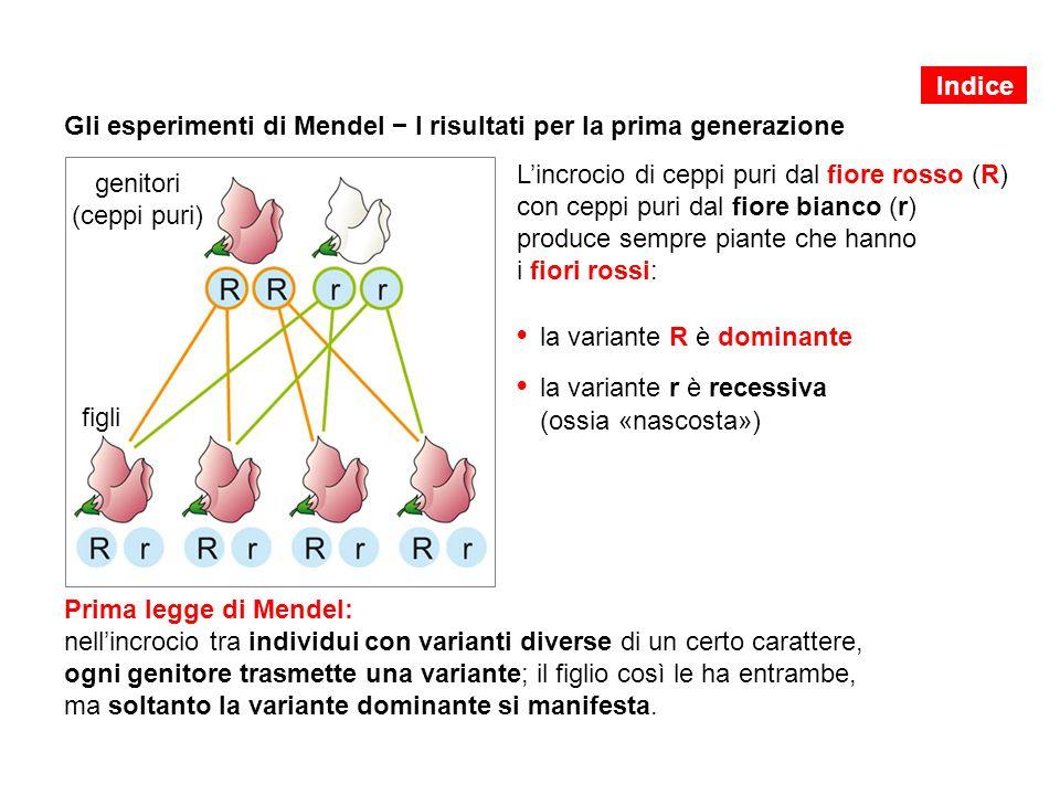 Gli esperimenti di Mendel − I risultati per la prima generazione
