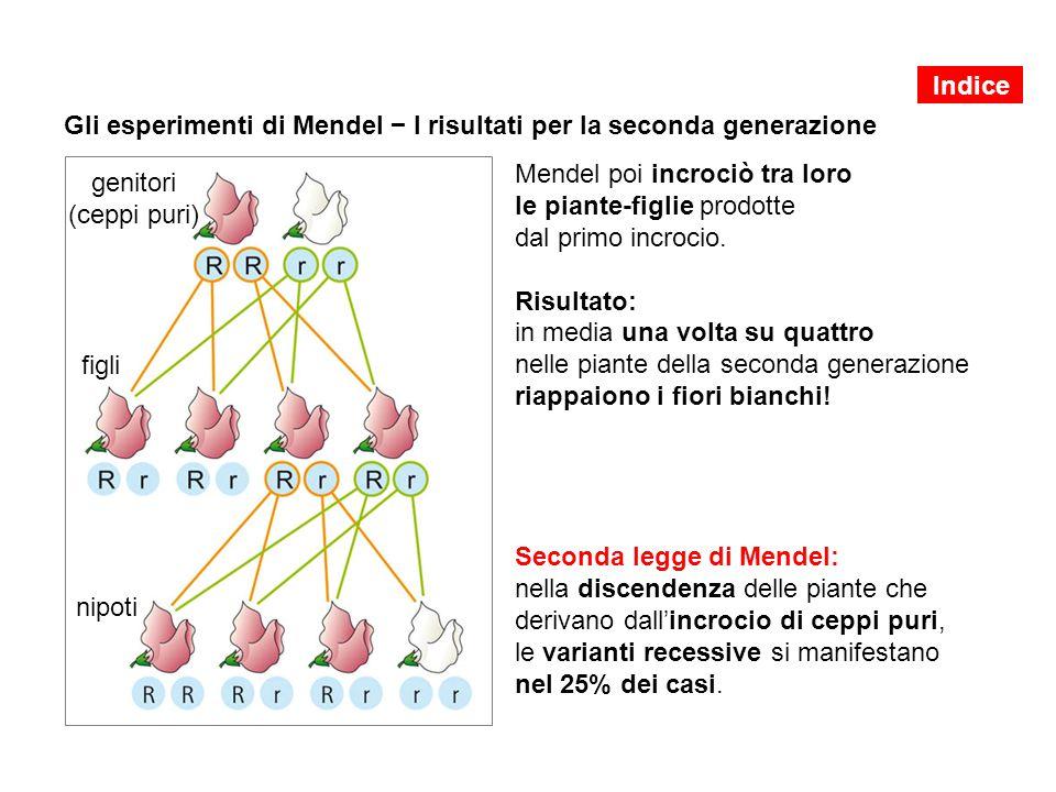 Gli esperimenti di Mendel − I risultati per la seconda generazione