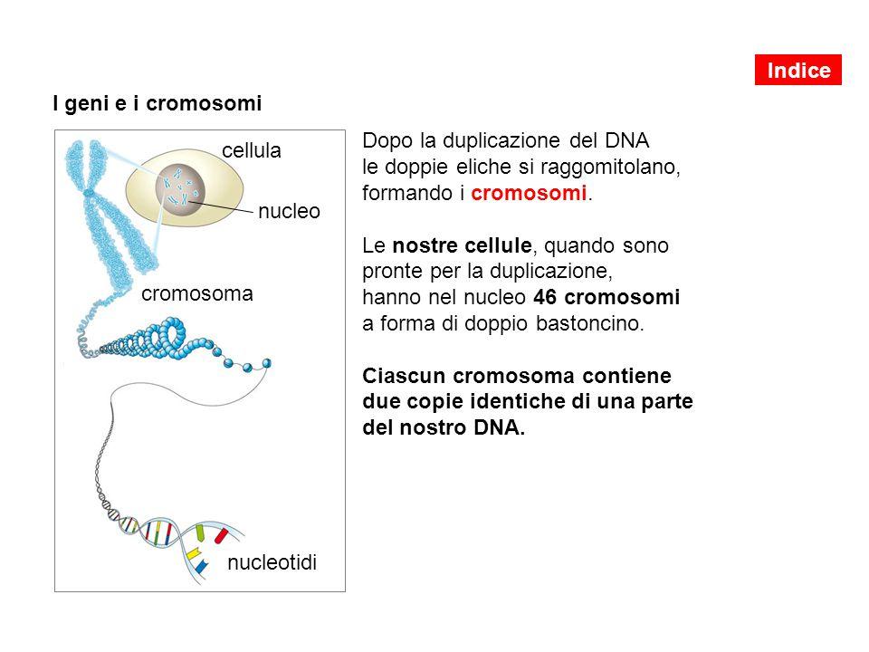 Dopo la duplicazione del DNA