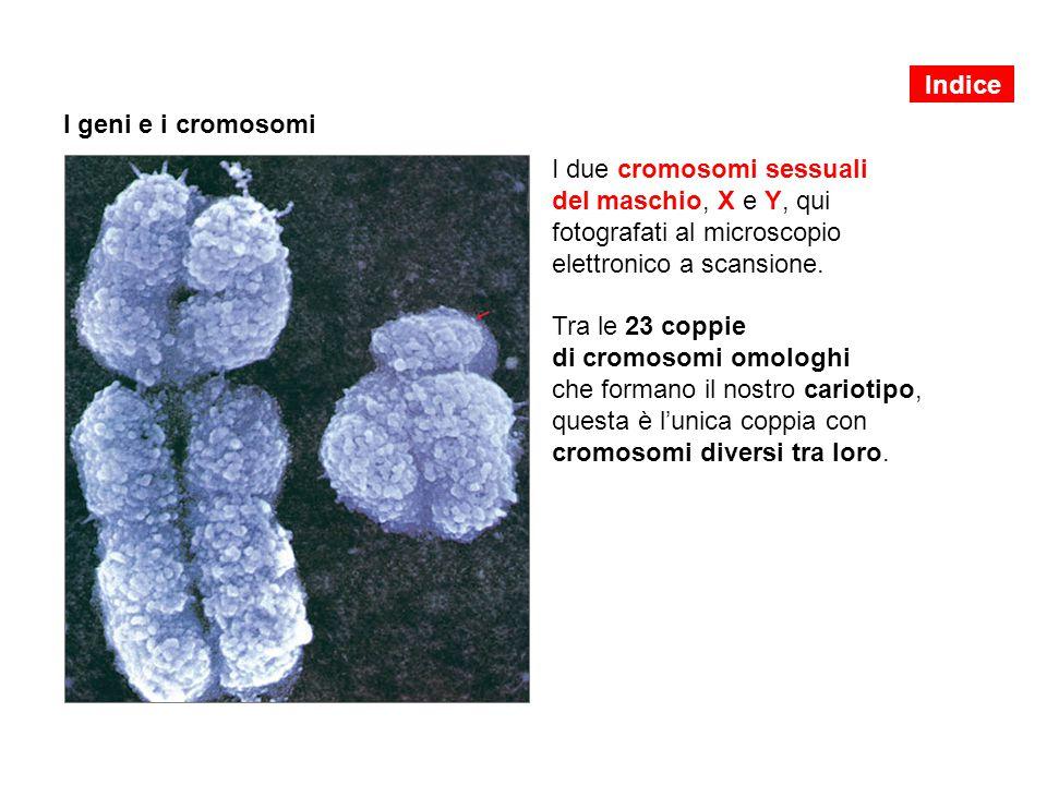 I due cromosomi sessuali