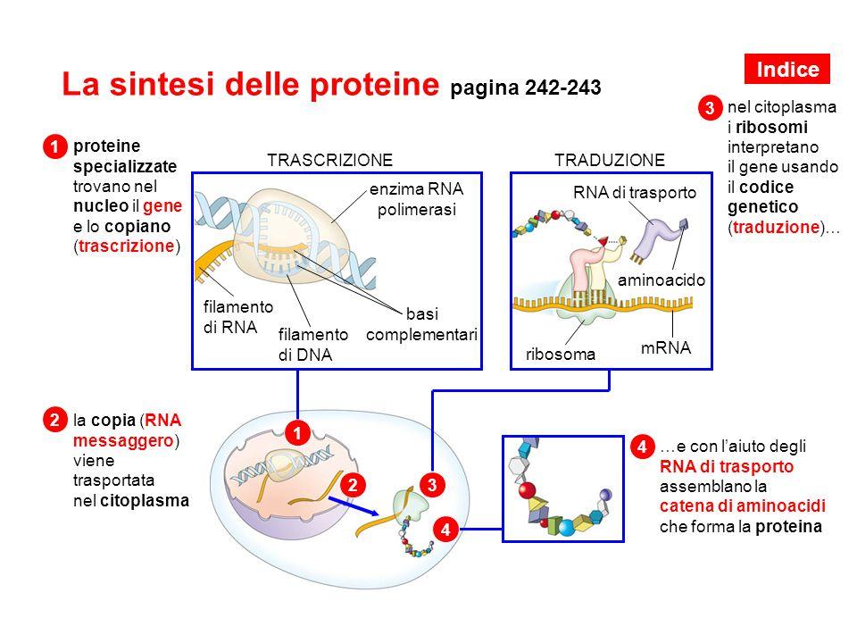 La sintesi delle proteine pagina 242-243