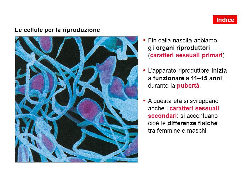 Le cellule per la riproduzione