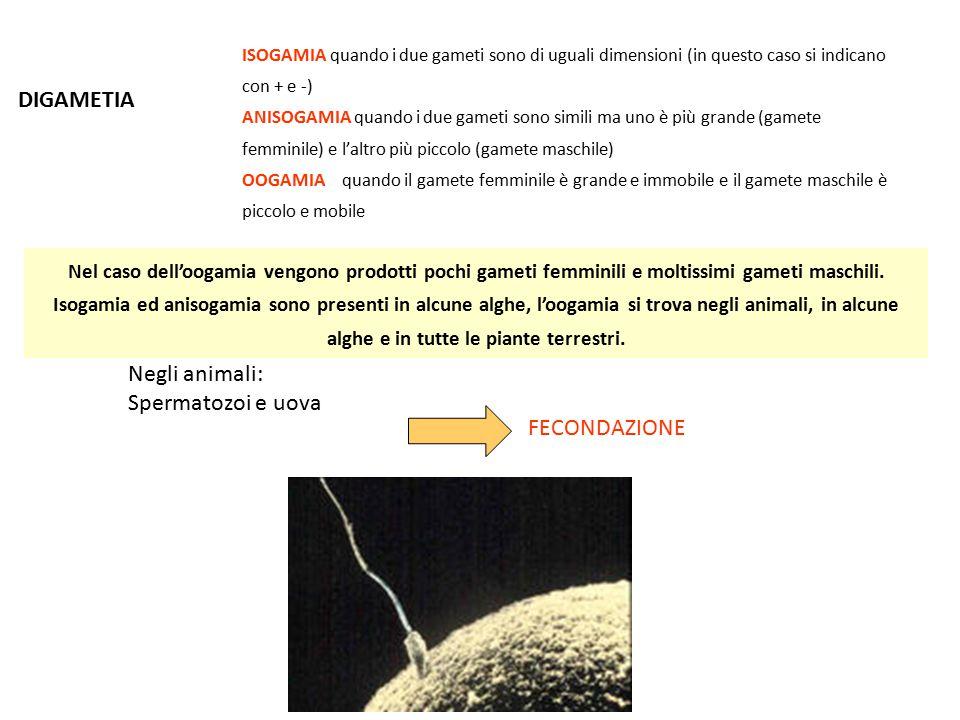 DIGAMETIA Negli animali: Spermatozoi e uova FECONDAZIONE