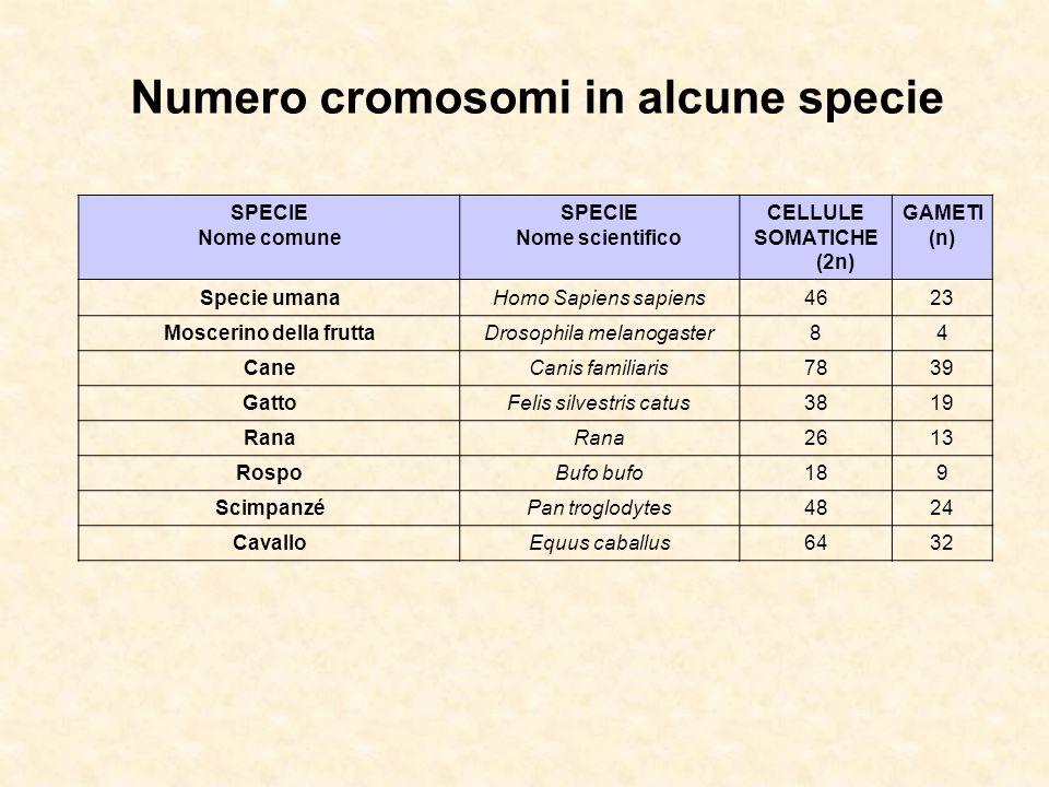 Numero cromosomi in alcune specie Moscerino della frutta