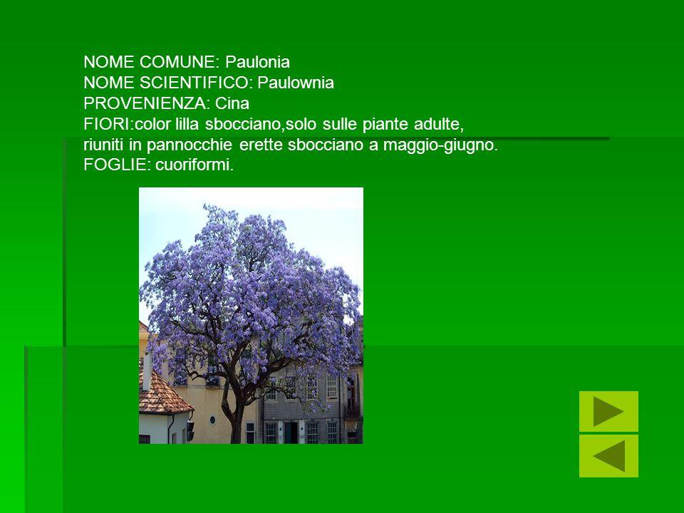 NOME COMUNE: Paulonia NOME SCIENTIFICO: Paulownia. PROVENIENZA: Cina. FIORI:color lilla sbocciano,solo sulle piante adulte,