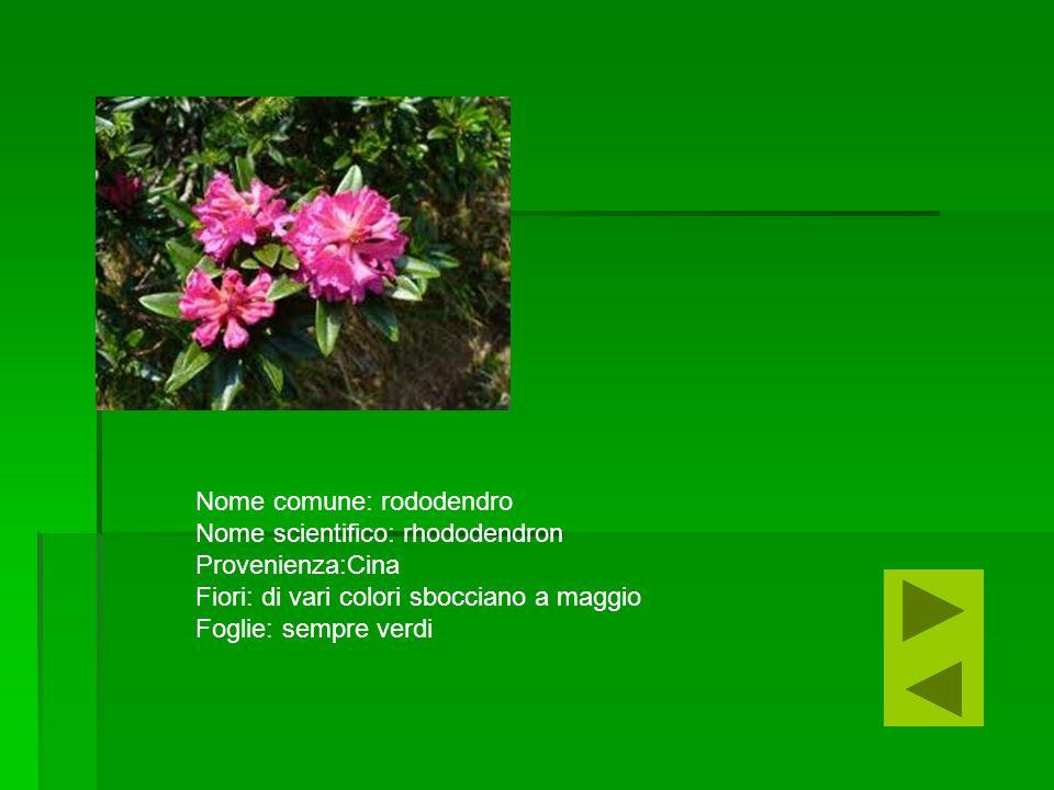 Nome comune: rododendro