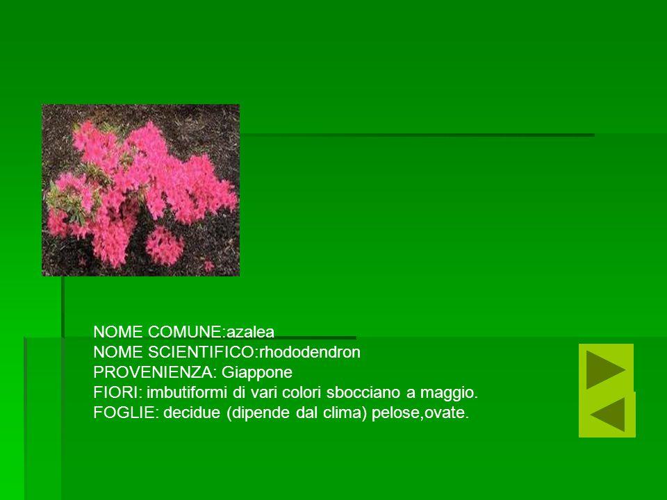 NOME COMUNE:azalea NOME SCIENTIFICO:rhododendron. PROVENIENZA: Giappone. FIORI: imbutiformi di vari colori sbocciano a maggio.