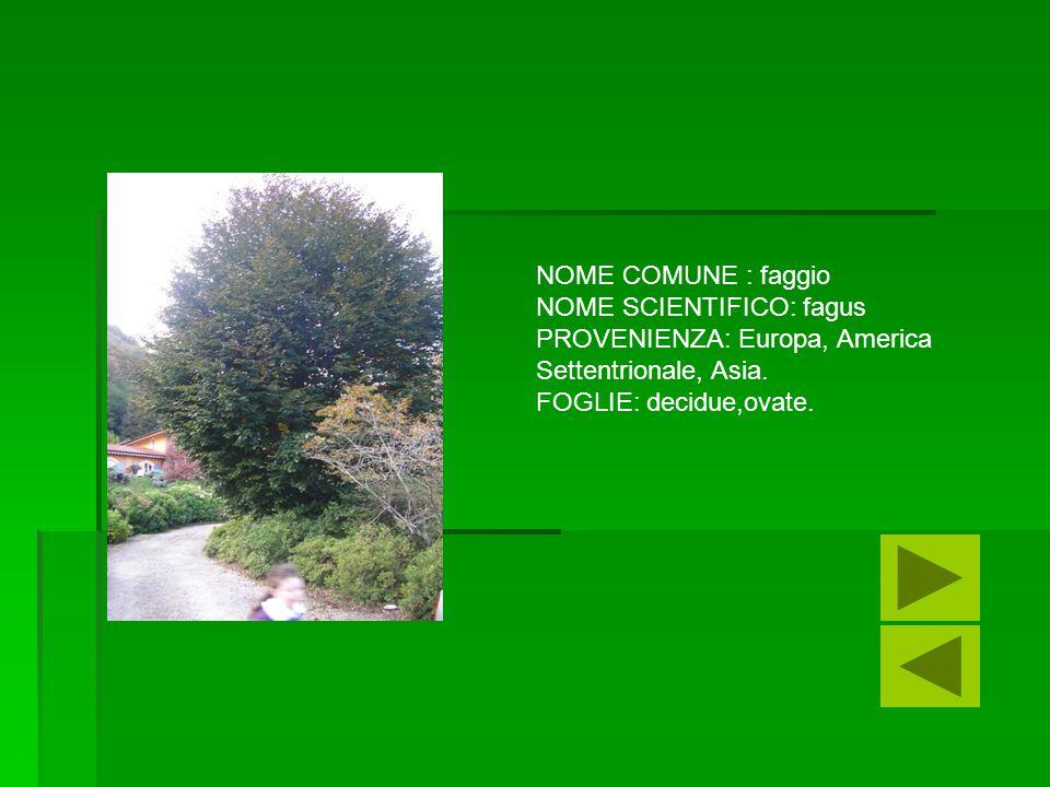 NOME COMUNE : faggio NOME SCIENTIFICO: fagus. PROVENIENZA: Europa, America. Settentrionale, Asia.