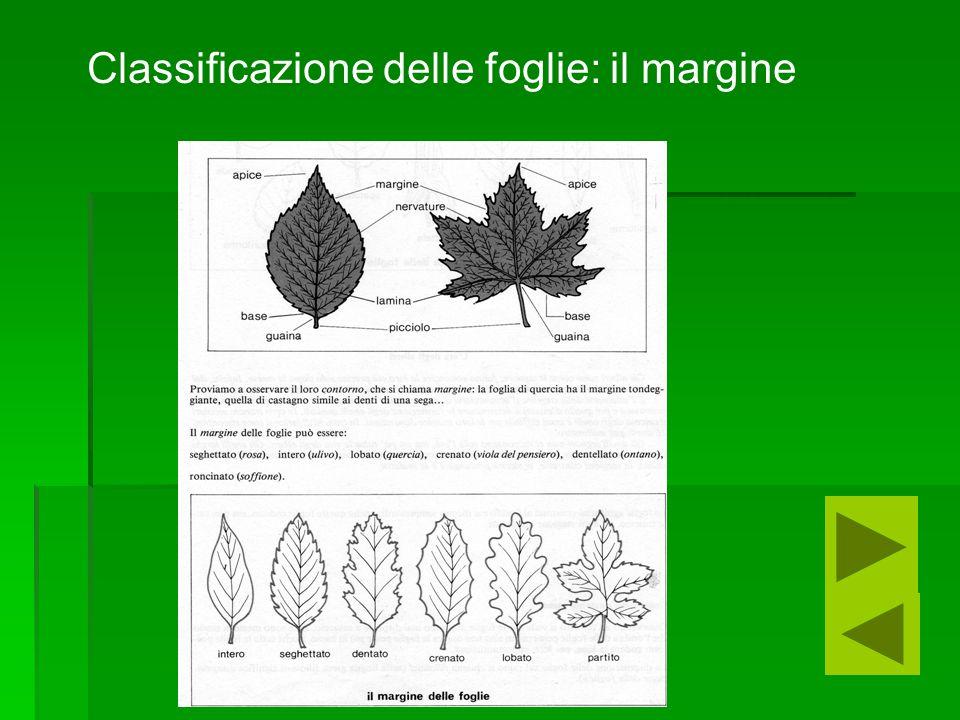 Classificazione delle foglie: il margine